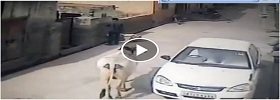 Surprise attack from cow